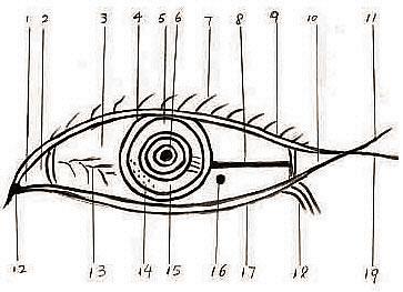 由眼睛的构造讲解一个人的运程和性情
