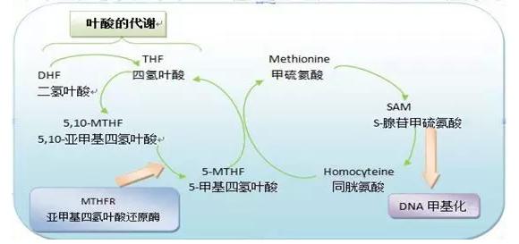 叶酸的作用及功能:叶酸有什幺功效?