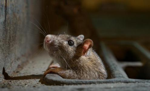 """6年属鼠几月命不好属老鼠几点出生最好"""""""